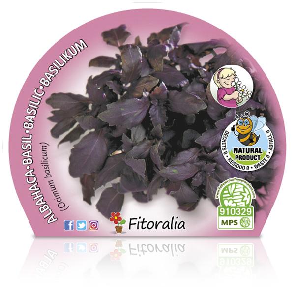 Albahaca Púrpura M-10,5 Ocimum basilicum W