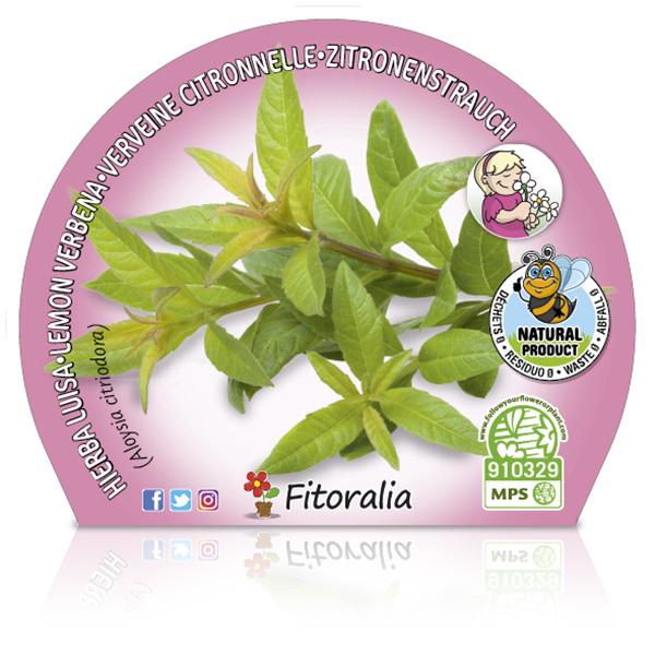 Hierba Luisa M-10,5 Aloysia citriodora W