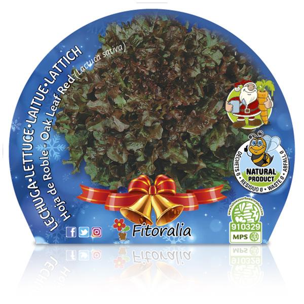 Lechuga Hoja de Roble Navidad M-10,5 Lactuca sativa
