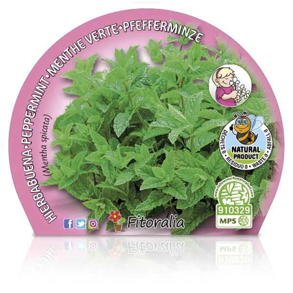 Menta Hierba Buena M-10,5 Mentha spicata W